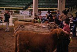 Jr. Heifer Class line-up
