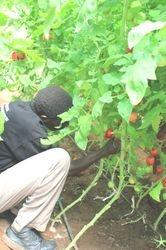 Harvesting greenhouse tomatoes