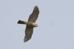 Sparrowhawk    EPERVIER D'EUROPE
