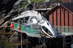 Whale skeleton at Prime Berth Museum, Twillingate