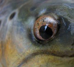 4.5lb b trout eye