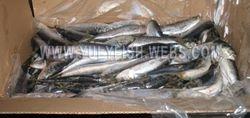 Sardine pilchardus Morocco