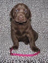 "4 Weeks Old - Pink Collar Female ""Maggie"""