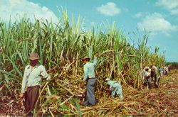 SUGER CANE CUTTERS #2