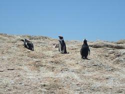 Boulder Penguins