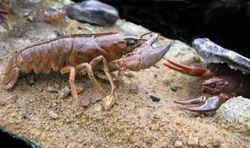 Crayfish close up