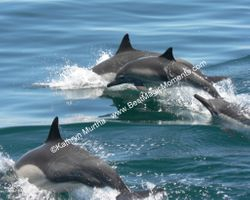 Jumping dolphins in Baja