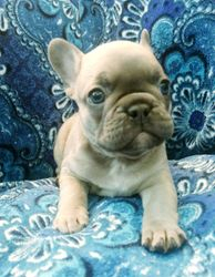 AKC Jupiter:LAVENDER with Blue Mask and Blue eyes, male French Bulldog Puppy.Ready to go 7/21/2018. AKC COMPANION $4500.00