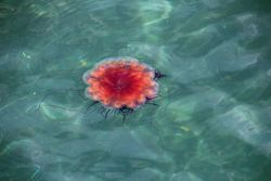Jellyfish at Frenchman's Cove