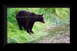 Black Bear watching the salmon
