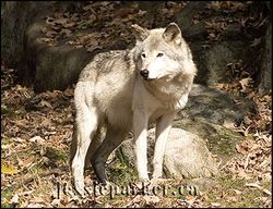 Timber Wolf,Quebec