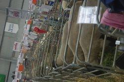 Pens at Australian sheep and wool show, Bendigo