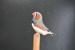 Champion Grey Cock
