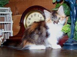 Mom Diva's beautiful SOLD Calico Ragdoll Munchkin longhair girl