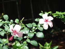 Albo growing in Buddys yard
