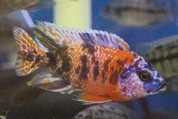 OB Peacock -$35