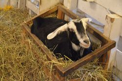 Shadow goat thinks the hay manger is her bed!