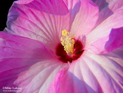Pink & White Hibiscus Flower