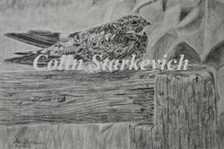 "Common Nighthawk (8 by 10"" pencil drawing)"