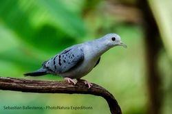 Blue-ground dove - Claravis pretiosa