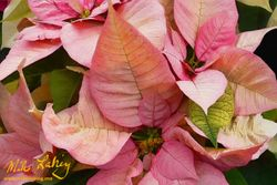 Nochebuena (Poinsettia) #3