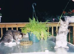 Cats on our Deck, 2005.