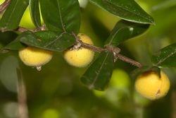 Cabeludinha ( Eugenia tomentosa )