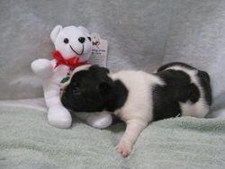 AKC male French Bulldog born 6-2-11