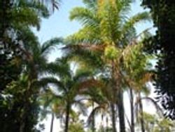 Peach Palms