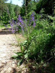 Wild clary plant