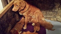 Echo trying to nurse Ruse's pups