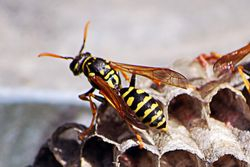 Yellow jackets busy at work. Close up.