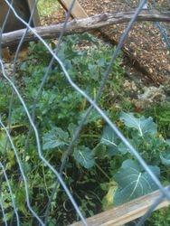 Winter Broccoli in February