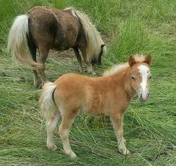mini filly born 4/17/13