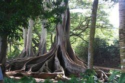 Fig trees in Allerton Gardens