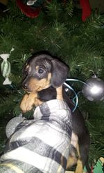 Black and tan male Available for Christmas !