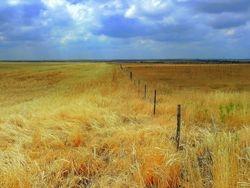 Wheat Fence Line