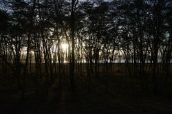 acacia forest sunset