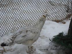 Black Shoulder Hen