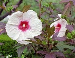 Perennial Hibiscus