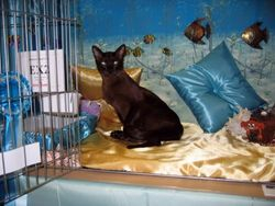 Perkins on exhibition at the Tonkinese Breed Club Show 2009