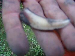 A bear claw .