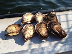 OYSTERS,CANADA
