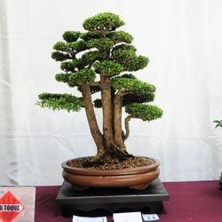 Neea (Neea buxifolia)
