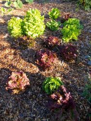 Lettuce in the Heart Garden