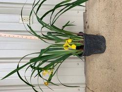 Yellow Louisiana Iris