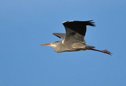 Grey Heron   (HERON CENDRE)