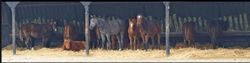 Yearlings wait for food