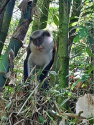Young female mona monkey in Grand Etang National Park (Dec. 2019)