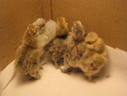 Araucana and Silkie chicks